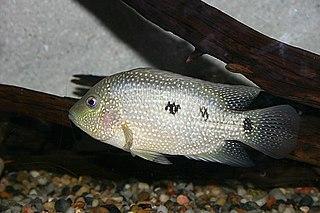 <i>Herichthys</i> genus of cichlid fishes