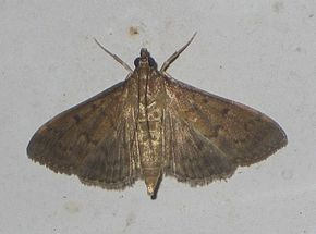 Description de l'image Herpetogramma licarsisalis-26mm(Walker, 1859).jpg.