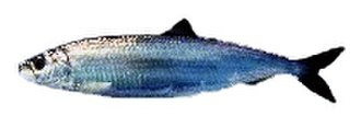 Pelagic fish - Small epipelagic forage fish, like this Atlantic herring, share the same body features listed for the predator fish above