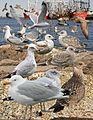 Herring Gull From The Crossley ID Guide Eastern Birds.jpg