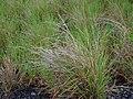 Heteropogon contortus.jpg