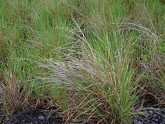 Heteropogon contortus - Image: Heteropogon contortus