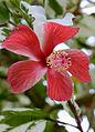 Hibiscus (7958403760).jpg