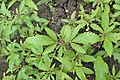 Hibiscus cannabinus kz01.jpg