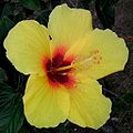 Hibiscus flower in Waikiki, Hawaii.jpg