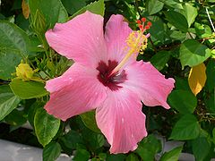 Hibiscus pink fully opened.jpg