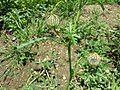 Hibiscus trionum sl34.jpg