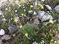 Hieracium porrifolium sl1.jpg