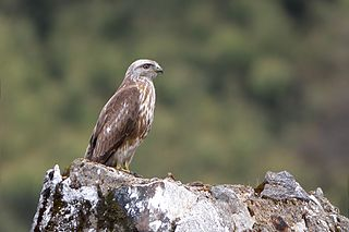 Himalayan buzzard species of bird