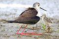 Himantopus himantopus 5097.jpg