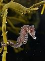 Hippocampus hippocampus (on Ascophyllum nodosum).jpg
