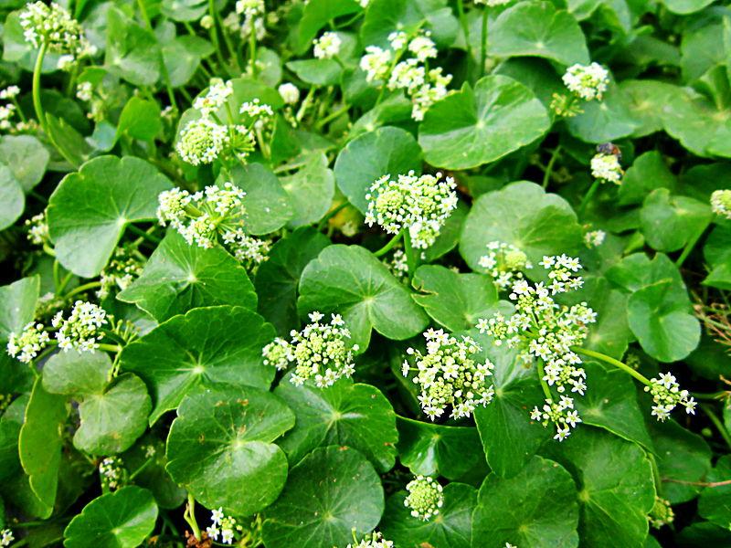 Файл:Hoa và lá rau má.jpg