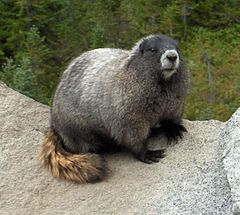 Hoarymarmot tight.jpg