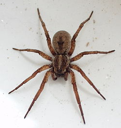 What does a recluse spider look like