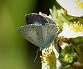 Holly Blue female (28950709147).jpg