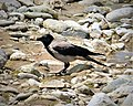 Hooded Crow (Corvus cornix) (43971595555).jpg