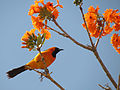 Hooded Oriole (16444724439).jpg