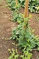 Horngurke - Kiwano - Cucumis metuliferus im Garten, kletternd 01 ies.jpg