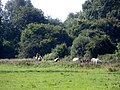 Horses in the meadow between Wansford Lock and Yarwell Mill - August 2013 - panoramio.jpg