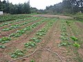 Horta de verdura brasileira do Akio - panoramio.jpg
