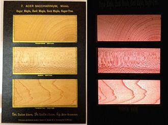Acer saccharum - Ultra-thin sugar maple sections from Romeyn Beck Hough's American Woods. From top to bottom, the image displays transverse, radial and tangential sections. The adjacent image shows light passing through the specimens.