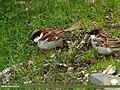 House Sparrow (Passer domesticus) (19246685043).jpg
