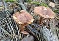Huciska Puszcza Zielonka mushrooms (3).jpg