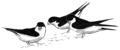 Huiszwaluw Delichon urbica Jos Zwarts 21.tif