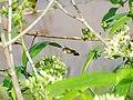 Hummingbird hawkmoth.jpg
