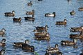 Hwyaid Ysgo Ducks - geograph.org.uk - 568333.jpg