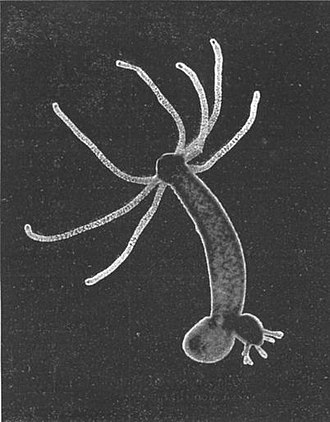 Hydra (genus) - Hydra species