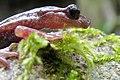 Hydromantes sarrabusensis.jpg