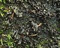 Hydrothyria venosa - Flickr - pellaea (3).jpg