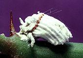 Icerya Purchasi Transmission Cochenilles