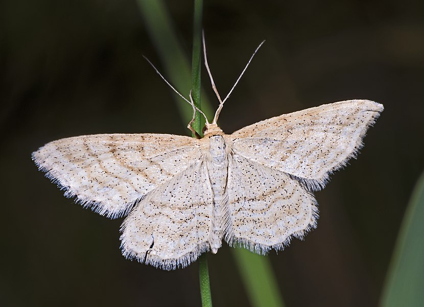 English:  Idaea macilentaria. Dorsal side.