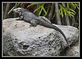 Iguana at Australia Zoo-2 (9099117956).jpg