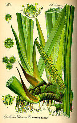 illustration from an 1885 flora