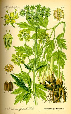 Liebstöckel (Levisticum officinale)