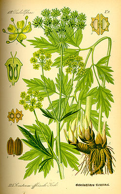 Liebstöckel (Levisticum officinale), Illustration