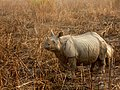 Indian rhinoceros Kaziranga.jpg