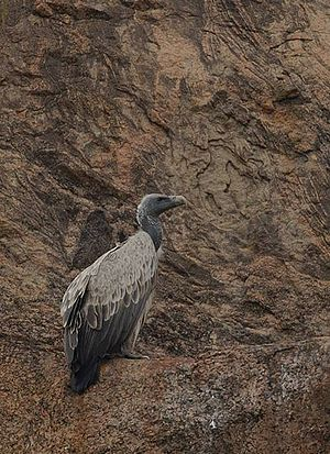 Indian vulture - Image: Indian vulture on cliff