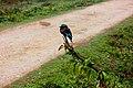 Indochinese Roller @ Kaziranga.jpg