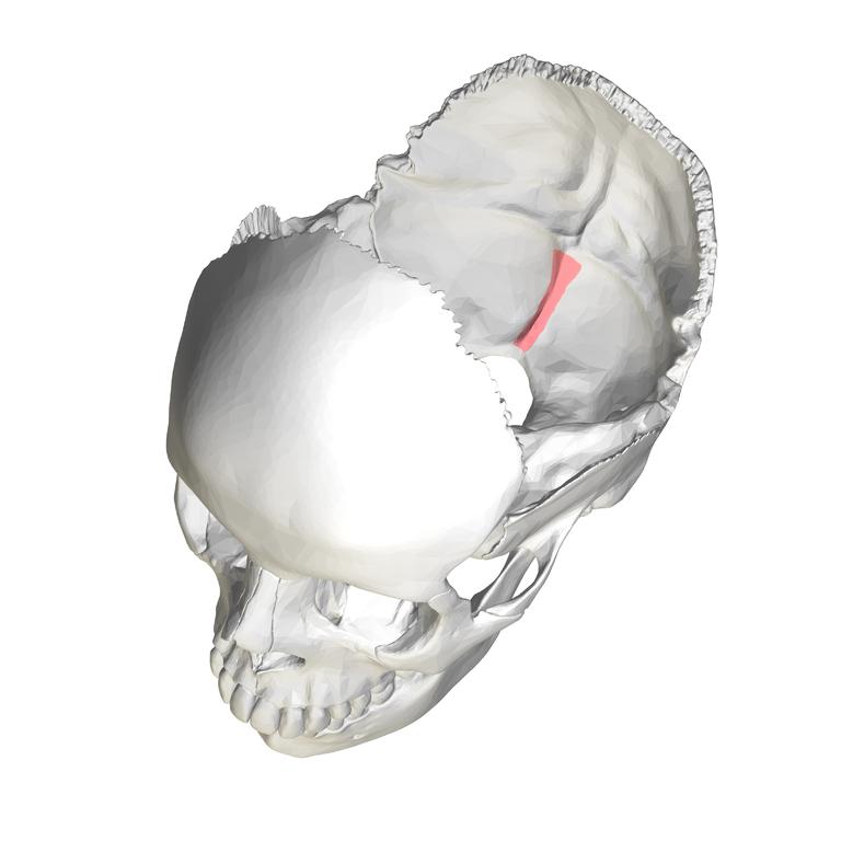 Pin External Occipital Crest on Pinterest