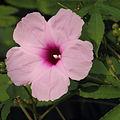 Ipomoea mauritiana-IMG 5509.jpg