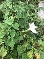 Ipomoea tastensis.jpg