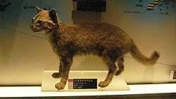 Iriomote cat.jpg