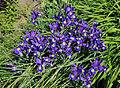 Iris Latifolia R02.jpg
