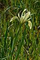 Iris grant-duffii 2.jpg
