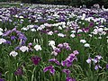 Irises in Lake Kagurame 02.jpg