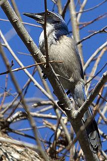 Island scrub jay species of bird